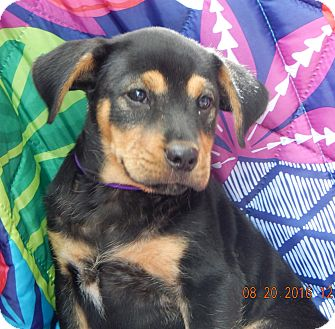 German Shepherd Dog/Rottweiler Mix Puppy for adoption in Williamsport, Maryland - Champ (7 lb) Video!