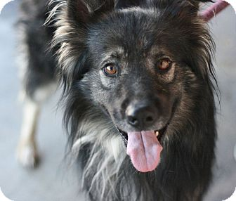 Keeshond Mix Dog for adoption in Canoga Park, California - Rocky