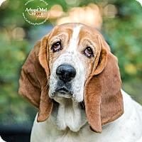 Basset Hound Dog for adoption in Cincinnati, Ohio - Coco