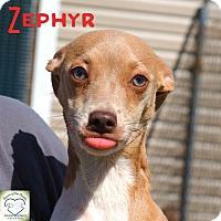 Adopt A Pet :: Zephyr - Washburn, MO