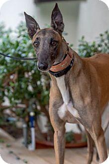 Greyhound Dog for adoption in Walnut Creek, California - Chuck