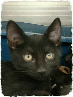 Domestic Shorthair Kitten for adoption in Pueblo West, Colorado - Sergia