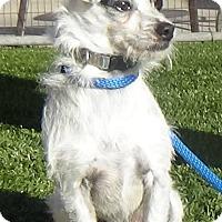 Adopt A Pet :: Scruffy - Inglewood, CA
