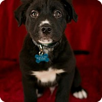 Adopt A Pet :: Farris - LITTLETON, CO
