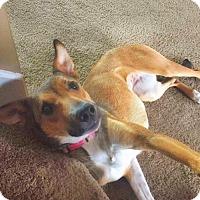 Adopt A Pet :: Lexus - Merriam, KS