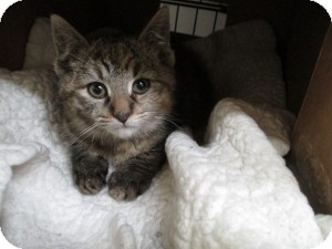Domestic Shorthair Kitten for adoption in Island Park, New York - Cindy