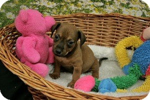 Dachshund Mix Puppy for adoption in Lufkin, Texas - Jack
