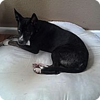 Adopt A Pet :: Lucy,sweet and athletic - Sacramento, CA