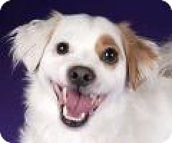 King Charles Spaniel/Jack Russell Terrier Mix Dog for adoption in Chicago, Illinois - Peluchin