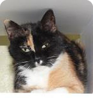 Domestic Shorthair Cat for adoption in Venice, Florida - Kal Kal