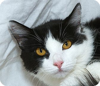 Domestic Shorthair Cat for adoption in Sacramento, California - Lily N