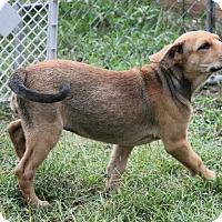 Pit Bull Terrier/Shepherd (Unknown Type) Mix Puppy for adoption in Marietta, Georgia - Ginger