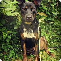 Adopt A Pet :: Atlas - Dayton, OH