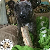 American Staffordshire Terrier Mix Dog for adoption in Cranston, Rhode Island - Odie