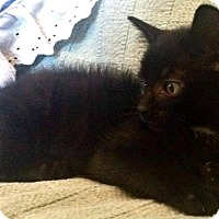 Adopt A Pet :: Midnight - Jefferson, NC