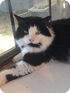 Domestic Longhair Cat for adoption in McKinney, Texas - Bebe