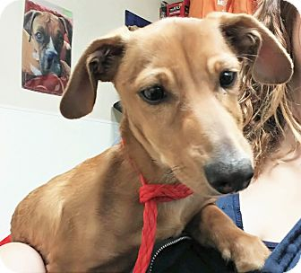 Dachshund Mix Dog for adoption in Fruit Heights, Utah - Griswald