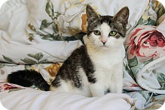 Domestic Shorthair Kitten for adoption in Downingtown, Pennsylvania - Dusty
