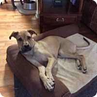 Black Mouth Cur Mix Dog for adoption in Tallahassee, Florida - FINNICK