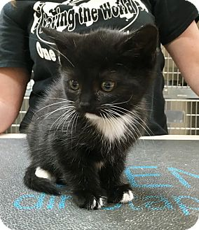 Domestic Shorthair Kitten for adoption in North Wilkesboro, North Carolina - Misti