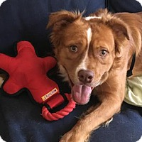 Old English Sheepdog/Australian Shepherd Mix Dog for adoption in Washington, D.C. - Atlas