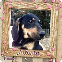 Adopt A Pet :: Atlanta meet me 11/18 - Manchester, CT