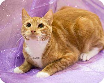 Domestic Shorthair Kitten for adoption in Oviedo, Florida - Spitfire
