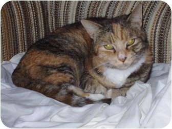 Calico Cat for adoption in Narberth, Pennsylvania - Tori