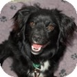 Pomeranian/Corgi Mix Dog for adoption in Mission Viejo, California - Lorenzo