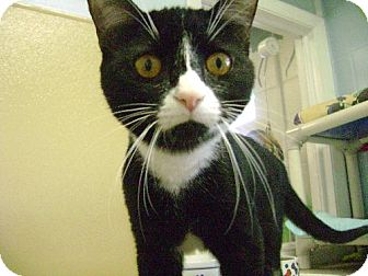 Domestic Shorthair Cat for adoption in Middletown, Ohio - Marley