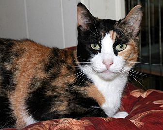 Domestic Shorthair Cat for adoption in New York, New York - Samoa