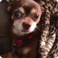 Adopt A Pet :: Amigo - Edmond, OK
