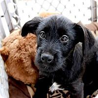 Adopt A Pet :: Jujy - Alpharetta, GA