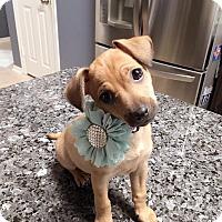 Adopt A Pet :: GAMORA - Fort Worth, TX