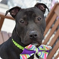 American Pit Bull Terrier Mix Dog for adoption in Manhattan, New York - Maxer