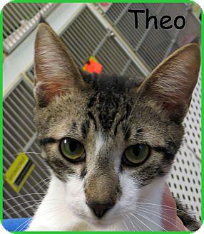 Domestic Shorthair Cat for adoption in Warren, Pennsylvania - Theo