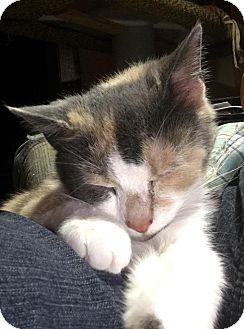 Calico Cat for adoption in Evans, West Virginia - HONEY