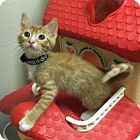 Adopt A Pet :: Dandelion - Westminster, CO