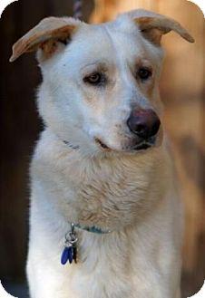 Shepherd (Unknown Type)/Labrador Retriever Mix Dog for adoption in Pt. Richmond, California - DEVIN