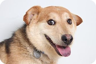 Corgi Mix Dog for adoption in Edina, Minnesota - Samuel D160595