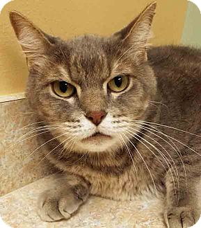 Domestic Shorthair Cat for adoption in Hinsdale, Illinois - Sebastian