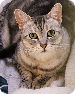 Domestic Shorthair Cat for adoption in Encinitas, California - Sophie