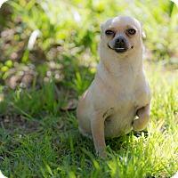 Adopt A Pet :: Dora - Santa Monica, CA