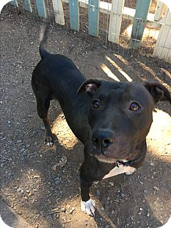 American Pit Bull Terrier/Pit Bull Terrier Mix Dog for adoption in grants pass, Oregon - Hannah