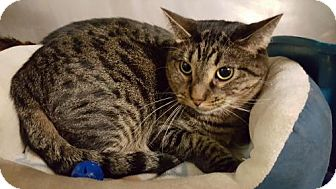 Domestic Shorthair Cat for adoption in Pensacola, Florida - Iver