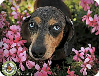 Dachshund Dog for adoption in Oceanside, California - Teacup