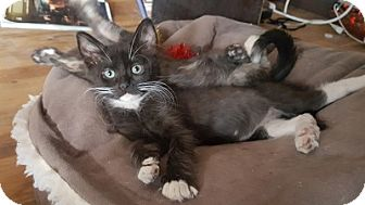 Domestic Mediumhair Kitten for adoption in Burbank, California - Roscoe