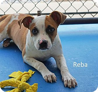 Jack Russell Terrier/Terrier (Unknown Type, Medium) Mix Dog for adoption in Waterbury, Connecticut - Reba