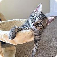 Domestic Shorthair Kitten for adoption in Newport, Kentucky - Harper