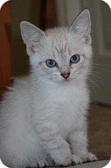 Siamese Kitten for adoption in Williamston, Michigan - Ae Litter - Jade